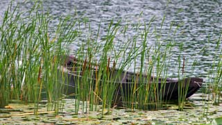 small boat on a reed-shore