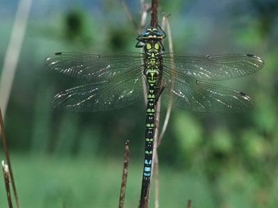 Blaugrüne mosaikjungfer eine unserer größten libellen