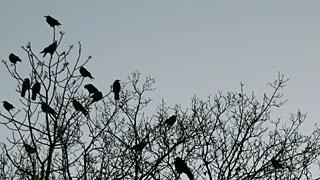 Saatkrähen-Kolonie auf einem Baum
