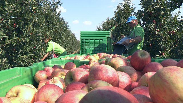 Apfelernte in Wien