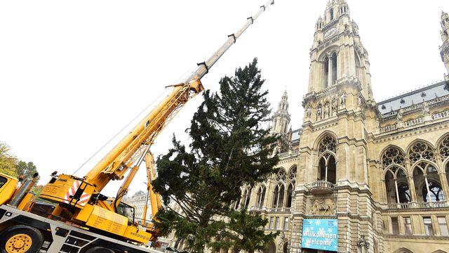 Weihnachtsbaum: Ein echter Wiener für den Rathausplatz