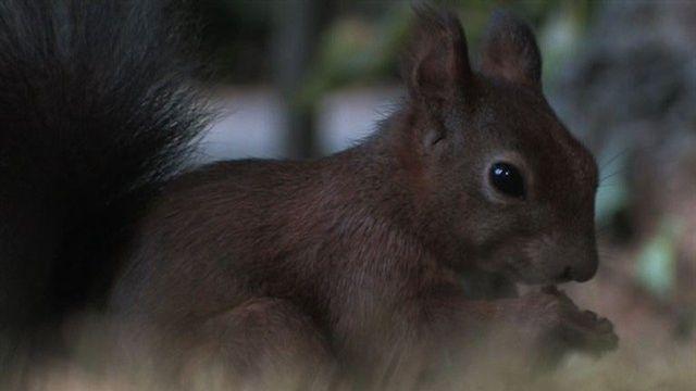 Eichhörnchen-Invasion in Schönbrunn