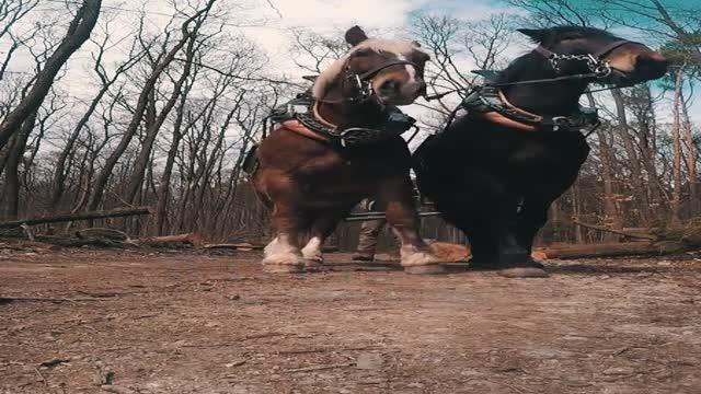 Holzbringung mit Pferden - 4:5